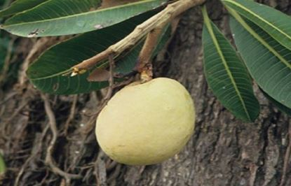 Picture of BALINESE WHITE MANGO SOAP
